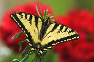 Close Up of a Canadian Tiger Swallowtail Butterfly with Red Geraniam Flowers in Background by Design Pics Inc