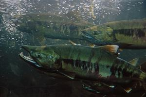 Closeup of Chum Salmon Underwater at Dipac Hatchery , Juneau Alaska by Design Pics Inc