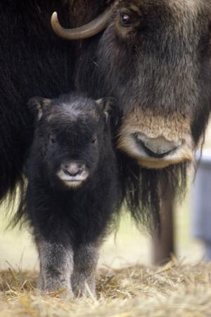 Closeup of Muskox Cow with Calf Captive Alaska Wildlife Conservation Center Sc Alaska Spring by Design Pics Inc