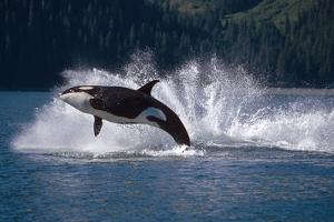 Double Breaching Orcas Bainbridge Passage Prince William Sound Alaska Summer Southcentral by Design Pics Inc