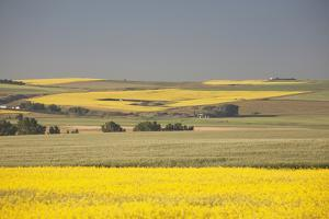Flowering Canola Fields Mixed with Green Wheat Fields and Rolling Hills by Design Pics Inc