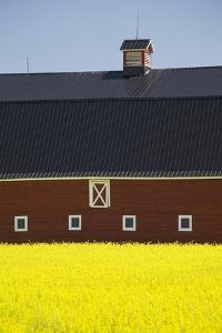 Front of a Red Barn in a Flowering Canola Field with Blue Sky South of High River; Alberta Canada by Design Pics Inc
