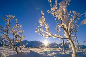Frosted Trees Backlit at Sunrise on Broad Pass Sc Ak Winter by Design Pics Inc