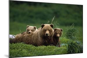 Grizzly Bear Mother and Cubs Lay in Field Southwest Ak - Nsummer by Design Pics Inc
