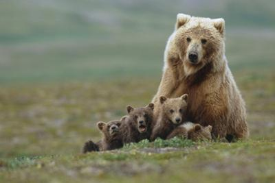 Grizzly Bear Sow with 4 Young Cubs Near Moraine Creek Katmai National Park Southwest Alaska Summer by Design Pics Inc
