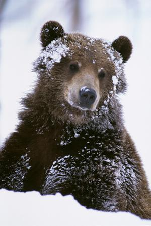 Grizzly Bear Standing with Face Covered
