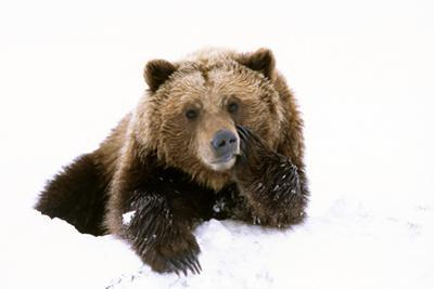 Grizzly Resting Head on Paw While Laying