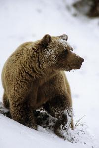 Grizzly Standing in Snow Denali Np in Alaska Autumn by Design Pics Inc