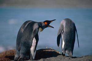 Group of King Penguins Interacting Together on Beach South Georgia Island Summer Antarctic by Design Pics Inc