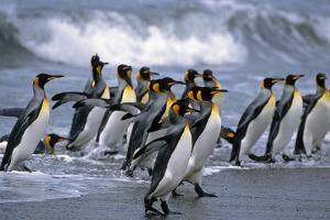 Group of King Penguins Walking in Surf on Beach South Georgia Island Antarctic Summer by Design Pics Inc