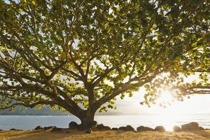 Hawaii, Kauai, Hanalei Bay, Large Tree on Beach, Sun Shining by Design Pics Inc