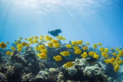 Hawaii, Lanai, School of Yellow Tangs (Zebrasoma Flavescens) in the Hulupoe Bay Marine Preserve