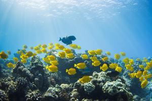 Hawaii, Lanai, School of Yellow Tangs (Zebrasoma Flavescens) in the Hulupoe Bay Marine Preserve by Design Pics Inc