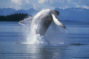 Humpback Whale Breaching Frederick Sound Se Ak by Design Pics Inc