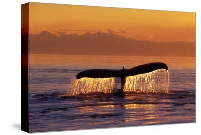 Humpback Whale Fluke at Sunset Inside Passage Se Ak Summer by Design Pics Inc