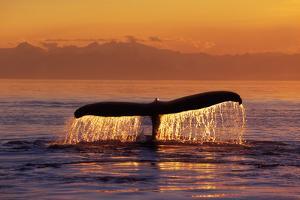 Humpback Whale Fluke at Sunset Inside Passage Se Ak Summer by Design Pics Inc