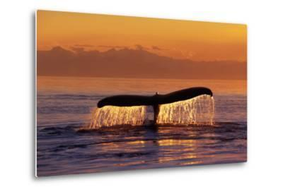 Humpback Whale Fluke at Sunset Inside Passage Se Ak Summer
