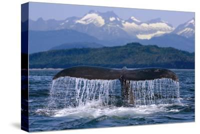Humpback Whale Tail on Surface Just before Diving Inside Passage Alaska Southeast Summer