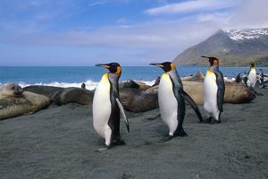 King Penguins Walk Among Elephant Seals Resting on Beach on Coastline of South Georgia Island by Design Pics Inc