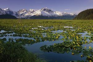 Lilly Pads in Bloom on Wetlands Chugach Nf Sc Ak Summer Chugach Mtns by Design Pics Inc
