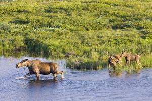 Moose Cow and Twin Calves Wading in Pond at Grassy Pass Denali National Park Interior Alaska Summer by Design Pics Inc