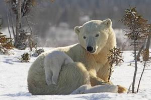 Mother Polar Bear (Ursus Maritimus) Playing with Her Cub by Design Pics Inc