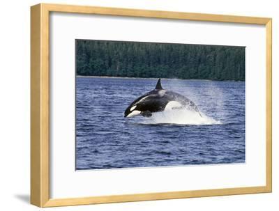 Orca Whale Breaching Cross Sound Inside Passage Se Ak Southeast Alaska Summer