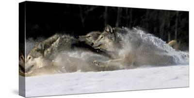 Pack of Grey Wolves Running Through Deep Snow Captive Ak Se Winter
