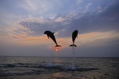 Pair of Bottle Nose Dolphins Jumping at Sunset Roatan Honduras Summer Backlit by Design Pics Inc