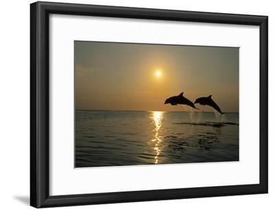 Pair of Bottle Nose Dolphins Jumping at Sunset Roatan Honduras Summer Backlit