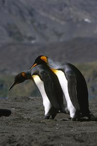Pair of King Penguins Preening Each Others Feathers South Georgia Island Antarctic by Design Pics Inc