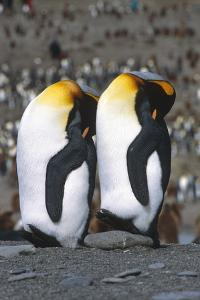 Pair of King Penguins Sleeping Standing Up Next to Each Other South Georgia Island Antarctic by Design Pics Inc