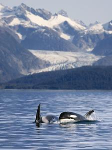 Pod of Orca Whales Surfacing by Design Pics Inc