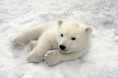 Polar Bear Cub Playing in Snow Alaska Zoo by Design Pics Inc