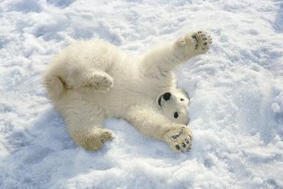 Polar Bear Cub Playing in Snow Alaska Zoo