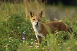 Portrait of Red Fox in Meadow Captive Sc Ak Summer Ak Big Game Animal Park by Design Pics Inc