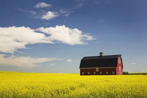 Red Barn in a Flowering Canola Field with Blue Sky and Clouds South of High River; Alberta Canada by Design Pics Inc