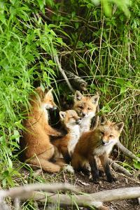 Red Fox Kits Playing Close to their Den During Summer in Alaska by Design Pics Inc