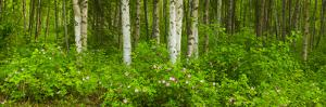 Scenic View of a Birch Forest and Wild Roses in Bloom by Design Pics Inc