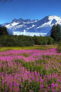 Scenic View of Mendenhall Glacier and Fireweed in the Foreground, Juneau, Alaska by Design Pics Inc