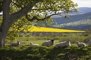 Sheep Laying on the Grass under a Tree; Northumberland England by Design Pics Inc