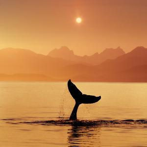 Silhouetted Humpack Whale Tail at Sunset Lynn Canal Ak Se Summer Coast Mtns by Design Pics Inc