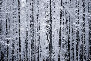 Snowcovered Cottonwood Trees Girdwood Southcentral Ak Winter by Design Pics Inc