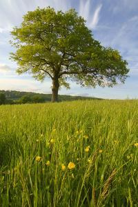 Solitary Oak Tree and Wildflowers in Field by Design Pics Inc