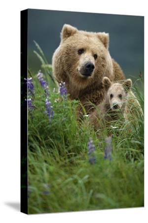 Sow Grizzly and Cubs in Grass Hallo Bay Katmai Np Alaska
