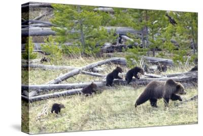 Sow Grizzly Bear (Ursus Arctos Horribilis) Leads and Guides Her Four Cubs (Extremely Rare)