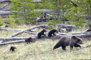 Sow Grizzly Bear (Ursus Arctos Horribilis) Leads and Guides Her Four Cubs (Extremely Rare) by Design Pics Inc