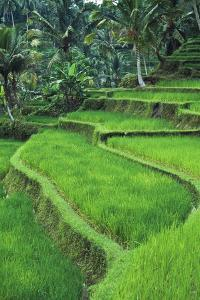 Terraced Fields of Rice by Design Pics Inc