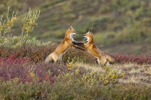 Two Foxes Near the Top of Polychrome Pass in Denali National Park Play with Each Other by Design Pics Inc
