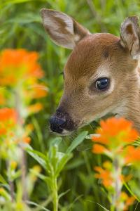 White-Tailed Deer Fawn in Wildflowers and Tall Grass Minnesota Spring Captive by Design Pics Inc